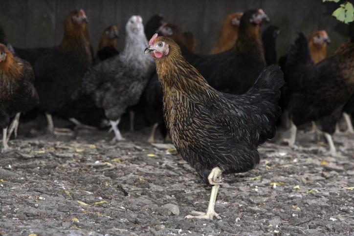 Meet the Black Rock Chicken
