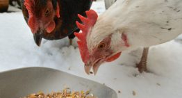 A Brief History of the Black Rock Chicken