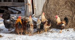 Top 5 Hardy Chicken Breeds for Cold Weather Climates