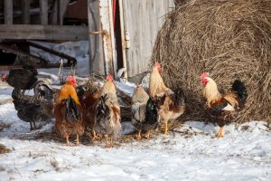 Free range chickens in snow covered farmyard