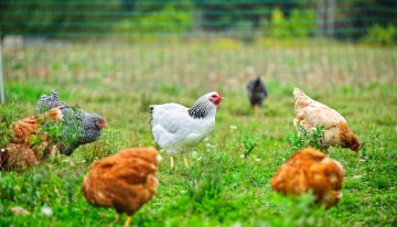 Best Chicken Breeds for the Absolute Beginner