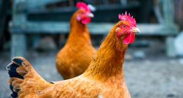 Most Popular Back Garden Chicken Breeds in the UK