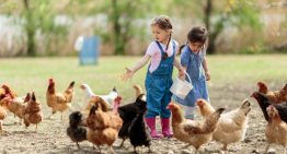 Why Chickens Make Perfect Family Pets