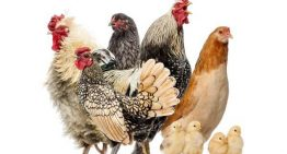 Fun facts you didn't know about chickens – Part 1
