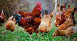 Fun facts you didn't know about chickens – Part 2